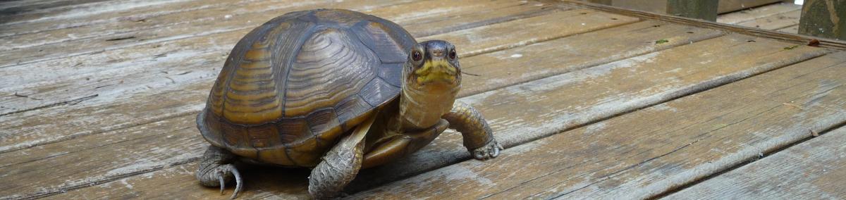 Kudra the American box tortoise.